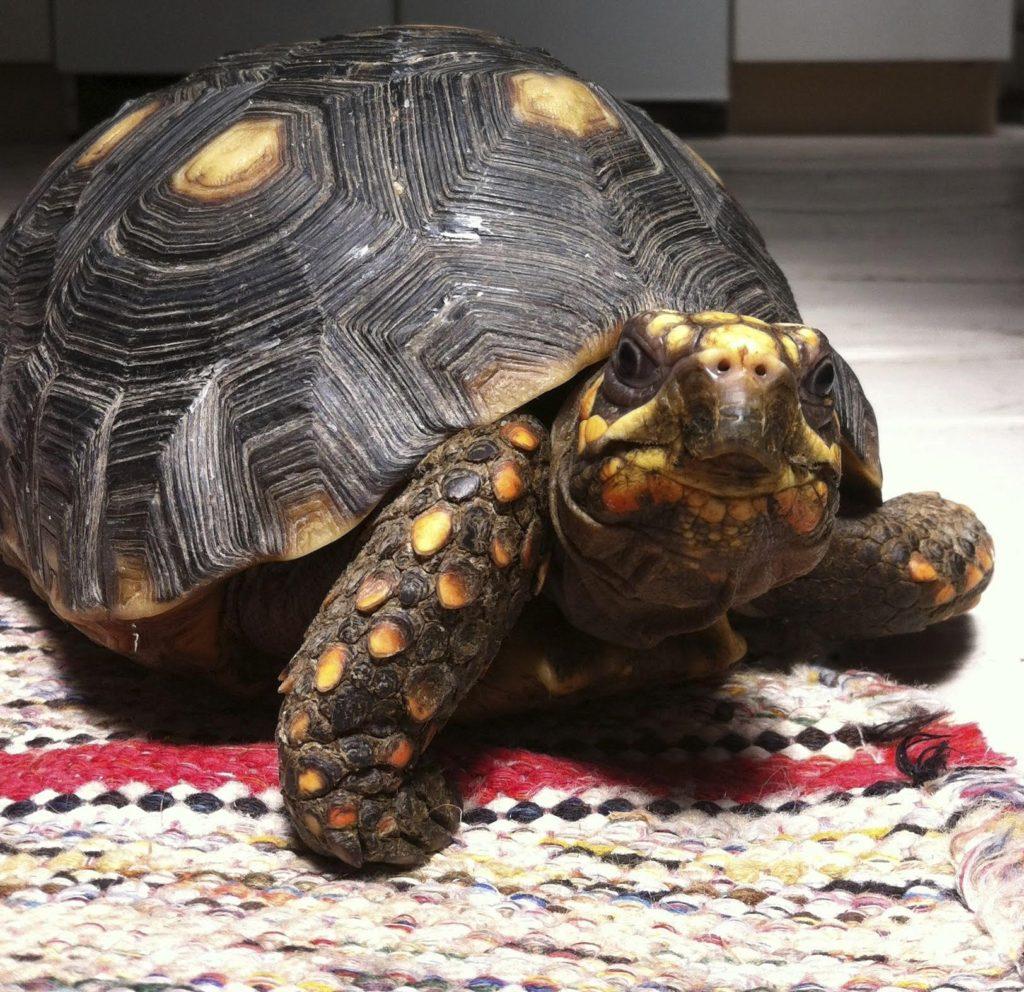 Peter's turtle, Matilda. Courtesy Peter and Matilda.